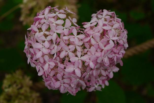 ハート形紫陽花