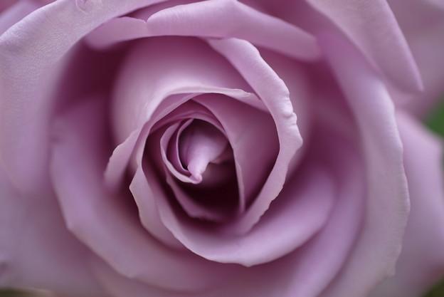 バラの奥に迫る