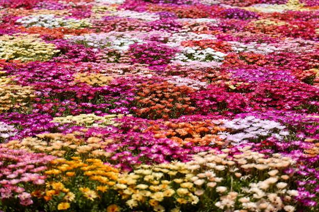 Photos: 春色花畑