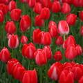 春の赤チューリップ