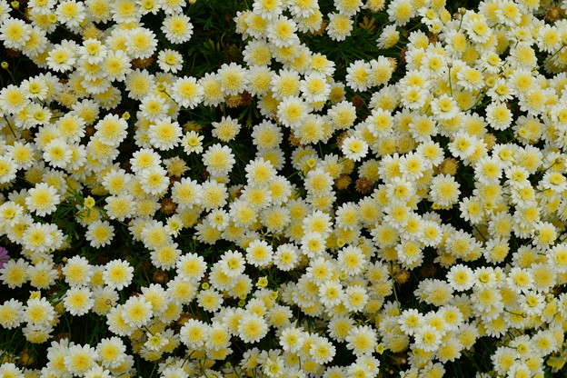 Photos: クリーム色の花