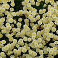 クリーム色の花