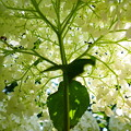 紫陽花の木陰