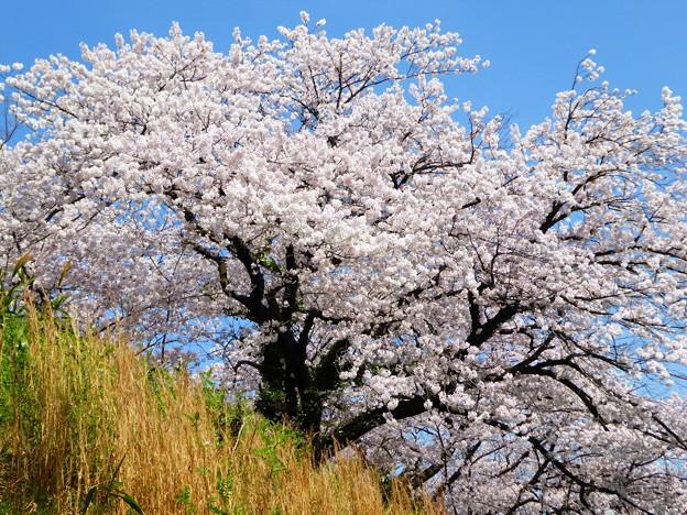 坂に一本桜