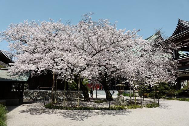 東長寺の桜2020