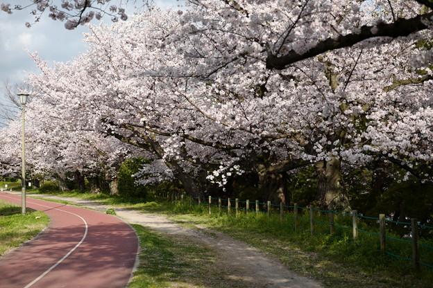 早朝の桜並木