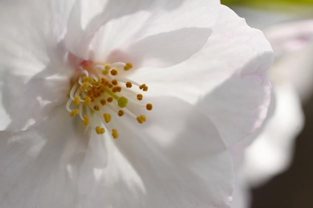 桜をのぞきこむと。