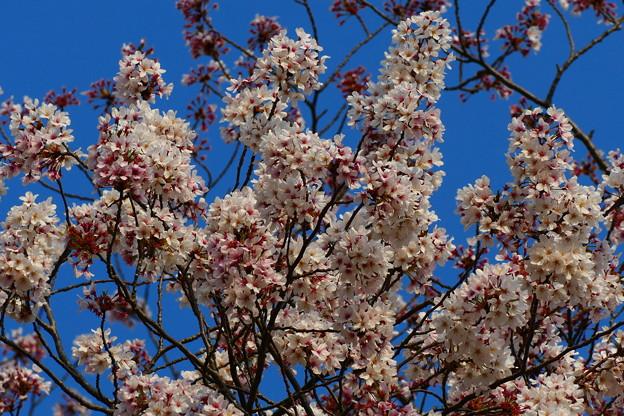もうすぐ散りゆく桜