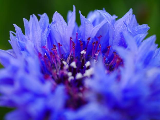 朝の青い花