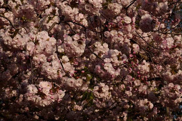 八重桜いっぱい!