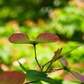 Photos: 椛の花