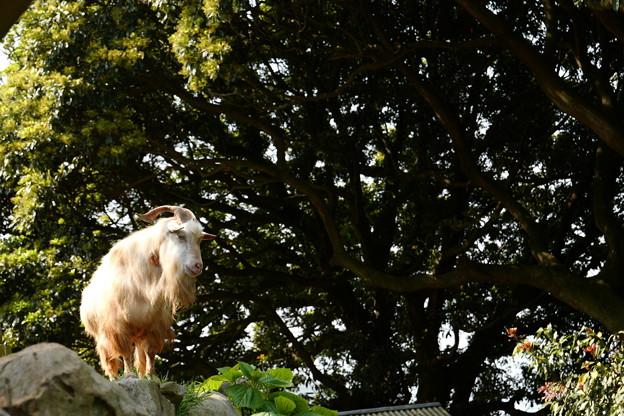 岩場に立つ山羊