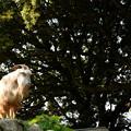 Photos: 岩場に立つ山羊