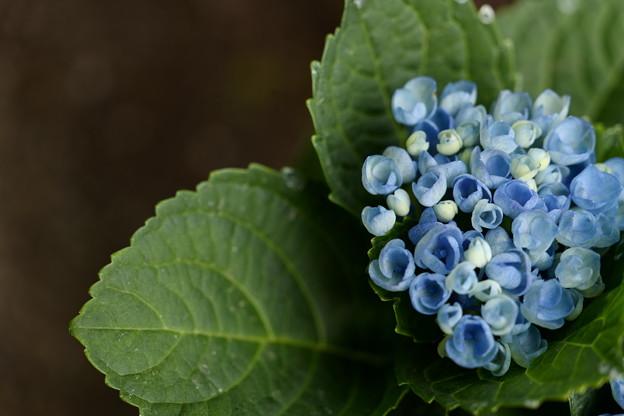 5月の紫陽花