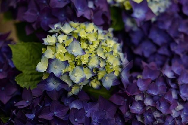 むらさき紫陽花畑