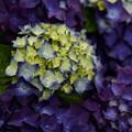 Photos: むらさき紫陽花畑