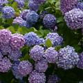 Photos: 紫陽花畑