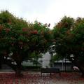 雨の中のデイゴ