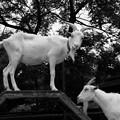 Photos: 山羊のマウント?