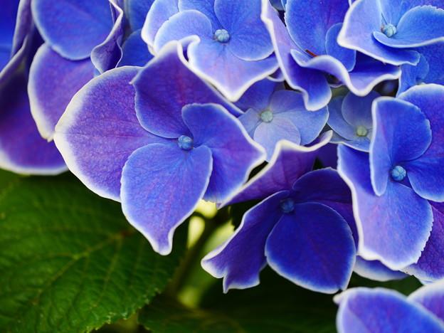白とコバルト色の洋風紫陽花