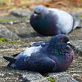 Photos: 鳩の休息