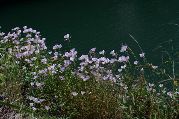 川沿いの花畑