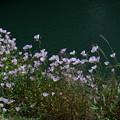 Photos: 川沿いの花畑