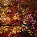 イロハモミジ、赤と黄が交わる