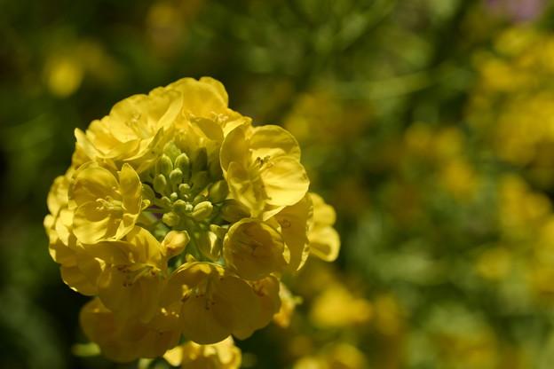 優しい黄色