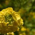 Photos: 優しい黄色