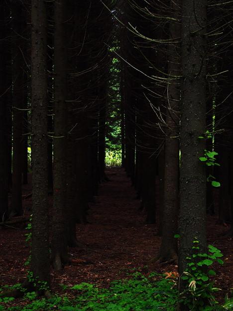 カラマツのトンネル