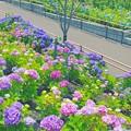 写真: 紫陽花の道