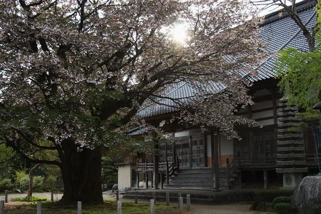 善正寺菊桜 (ゼンショウジキクザクラ)