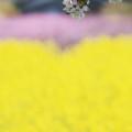 写真: 桜と、菜の花・桃の花
