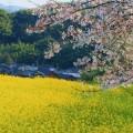 写真: 菜の花畑と染井吉野
