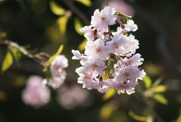 写真: 八重桜 夕日を浴びて