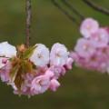 写真: 八重桜 ピンク(ボタン桜?)