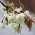 写真: 八重桜 白