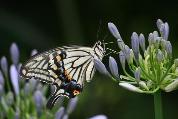 キアゲハチョウ、蝶の女王様