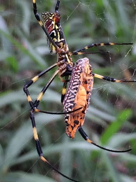 女郎蜘蛛さん、お食事中