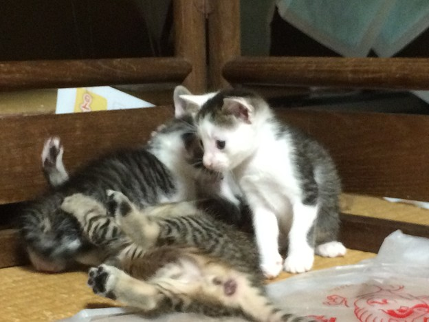 遊ぶ子猫たち