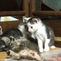 Photos: 遊ぶ子猫たち