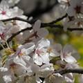 写真: 満開の熊谷桜堤ー3