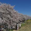 写真: 満開の熊谷桜堤ー4