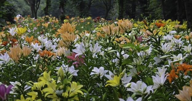 ユリの花園II