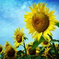 写真: ひまわり咲く