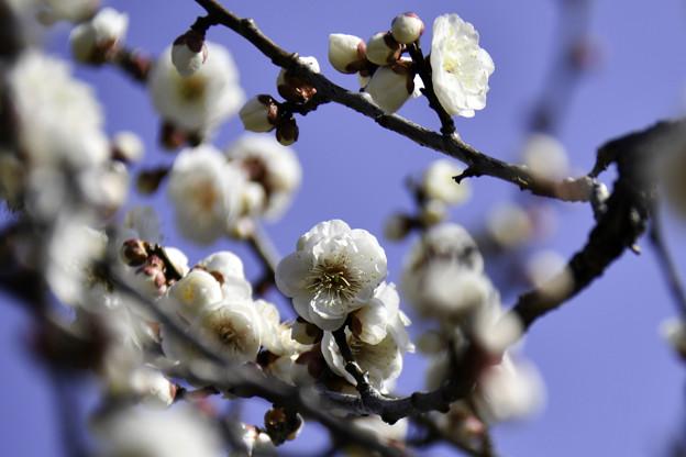 早春「梅まつり」 (4)