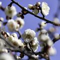 写真: 早春「梅まつり」 (4)
