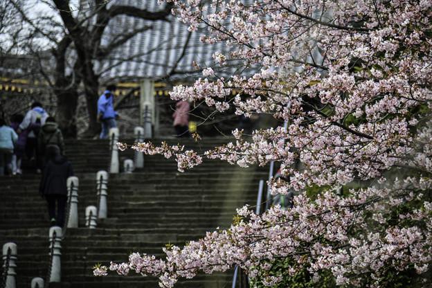 河津桜咲く