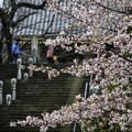 Photos: 河津桜咲く